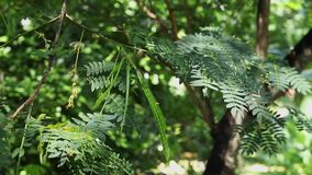 Lead tree foliage with pods. Beautiful green foliage and pods of leadtree -leucaena or jumbay tree -it's a sunny and windy day stock video