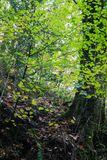 Beautiful green foliage of trees in autumns forest Royalty Free Stock Images