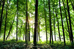 Beautiful green forest. Autumn forest trees. nature green wood sunlight backgrounds Royalty Free Stock Images