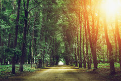 Beautiful green forest with high trees, road or path in summer sunset Stock Photos