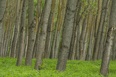 Beautiful green forest. Panorama of a path through a lush green summer forest Stock Images
