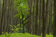 Beautiful green forest. Panorama of a path through a lush green summer forest Royalty Free Stock Photos