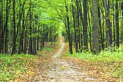 Beautiful green forest. A beautiful path is in the green summer forest Stock Images