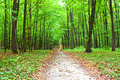 Beautiful green forest. A beautiful path is in the green summer forest Royalty Free Stock Image
