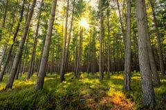Fresh Forest Sunrise Stock Image