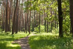 Beautiful green forest in summer. Panorama of a path through a lush green summer forest royalty free stock photography