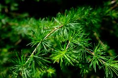 Closeup of a larch tree needle branch stock photography