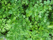 Beautiful green and fresh parsley background photo royalty free stock image