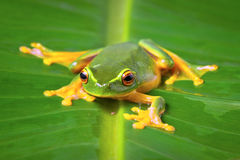 Beautiful green frog sitting on leaf Stock Photo