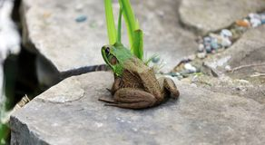 Beautiful Green Frog at a water pond in Michigan during summer. Amphibian lake animal stock images