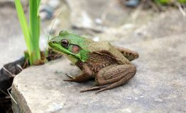 Beautiful Green Frog at a water pond in Michigan during summer. Amphibian lake animal royalty free stock photo