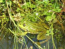 Brown wild little frog in lake, Lithuania Stock Image