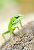 Beautiful green gecko Stock Images