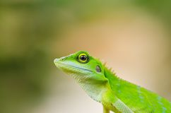 Beautiful green gecko lizard Stock Photos