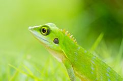 Beautiful green gecko lizard Royalty Free Stock Photography