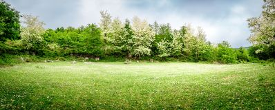 A beautiful green glade with flowering acacia trees and clover flowers. Panoramic view. Spring nature background.  royalty free stock photos