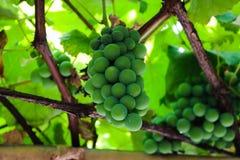 beautiful green grape fo Brazil royalty free stock photography
