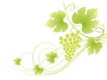 Beautiful green grape vine background. Stock Photography