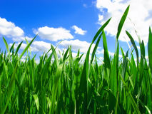 Beautiful green gras Royalty Free Stock Photos