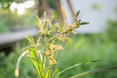 Beautiful green grass flower or poaceae in the garden for nature Royalty Free Stock Photos