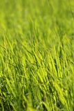 Beautiful green grass Royalty Free Stock Photo