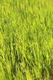 Beautiful green grass Royalty Free Stock Image