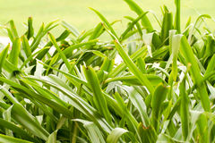 Beautiful green grass plants Royalty Free Stock Photography