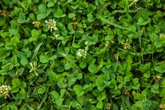 Beautiful green grass texture. royalty free stock images