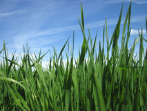 Beautiful green grass under blue sky Royalty Free Stock Photos