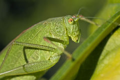 Beautiful green grasshopper. Macro shot of beautiful green grasshopper stock photo