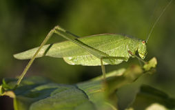 Beautiful green grasshopper Royalty Free Stock Image