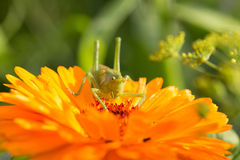 A beautiful green grasshopper sitting on a calendula. Insect resting on a flower. English marigold closeup. Shallow depth of field photo royalty free stock photo