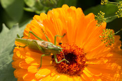 A beautiful green grasshopper sitting on a calendula. Insect resting on a flower. English marigold closeup. Shallow depth of field photo royalty free stock image