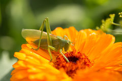 A beautiful green grasshopper sitting on a calendula. Insect resting on a flower. English marigold closeup. Shallow depth of field photo stock photos