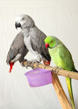 Beautiful green and grey parrots Royalty Free Stock Photos