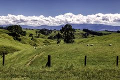 Beautiful green hills scenery with grazing sheep in New Zealand. Beautiful green hills scenery with grazing sheep in North island New Zealand Stock Photos