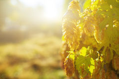 Beautiful green hop Stock Photography