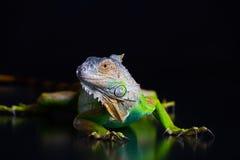 Beautiful green iguana Royalty Free Stock Photos