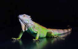 Beautiful green iguana Stock Images