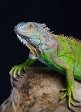 Beautiful green iguana Royalty Free Stock Image