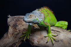 Beautiful green iguana Royalty Free Stock Image