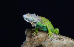 Beautiful green iguana Royalty Free Stock Images