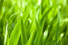 Beautiful green iris leaves Royalty Free Stock Photos