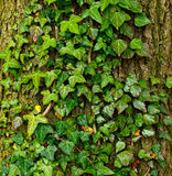 Beautiful green ivy climbing up the huge tree trunk, art nature background Stock Images