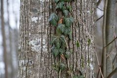 Green ivy branch down the tree trunk. Beautiful green ivy climbing up the huge tree trunk royalty free stock image