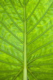 Beautiful green leaf Royalty Free Stock Image