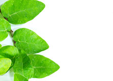 Beautiful green leaf Stock Images