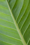 Beautiful green leaf Royalty Free Stock Images