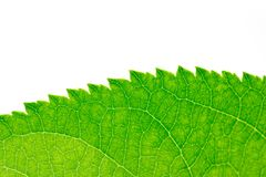 Beautiful green leaf as background. macro. In the park in nature Royalty Free Stock Image