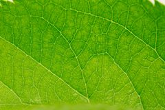 Beautiful green leaf as background. macro. In the park in nature Stock Photos
